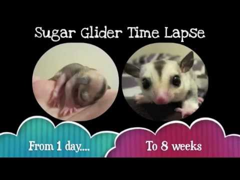 Sugar Glider Time Lapse