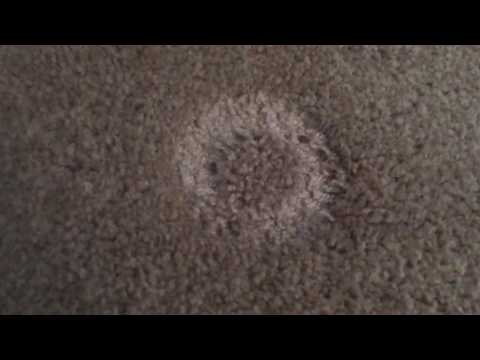 Bed bugs - Hiding in Carpet