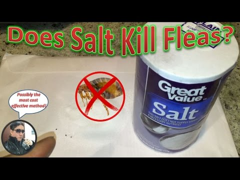 Does Salt Kill Fleas?