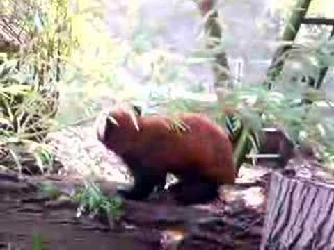 a red panda eating (auww how cute XD)