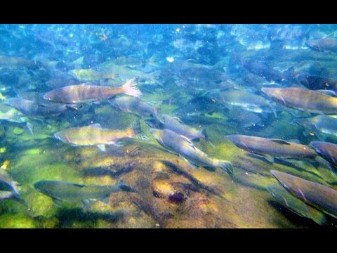 Swimming  with Salmon in the Puntledge River in Courtenay, B.C.