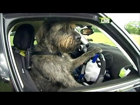 Incredible Video: Dogs Learning to Drive
