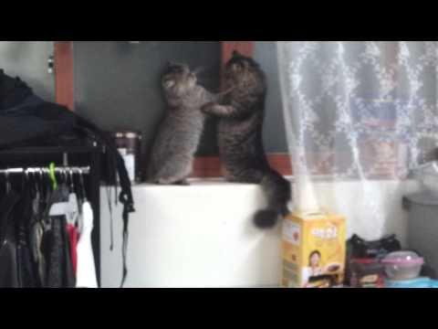 Pregnant female cat tries to get rid of boyfriend.