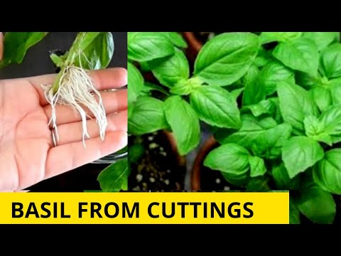 How to grow Basil in pot in India I How to grow basil from cuttings