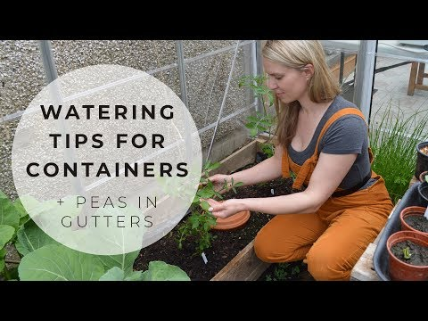 Watering tips for containers + growing peas in a gutter