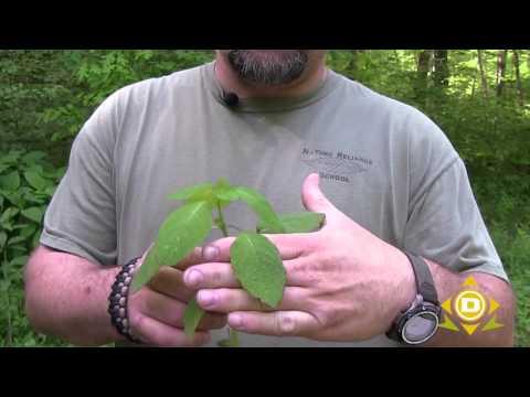 Medicinal Plant - Jewel Weed