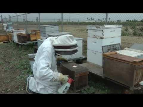 Killing Killer Bees
