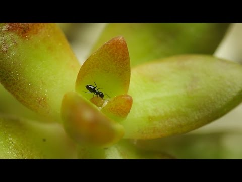 Mealybug SOS - Ants on your Plants? Might mean Mealybugs...Let's fix that STAT!