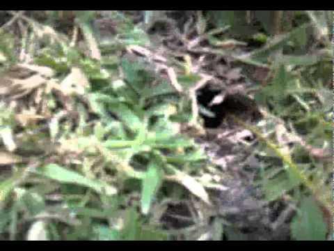 Kev failing to catch tarantulas in Antigua !! Pt 2.