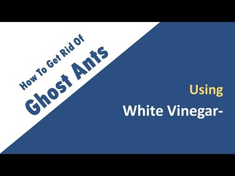 How To Get Rid Of Ghost Ants With White Vinegar Naturally