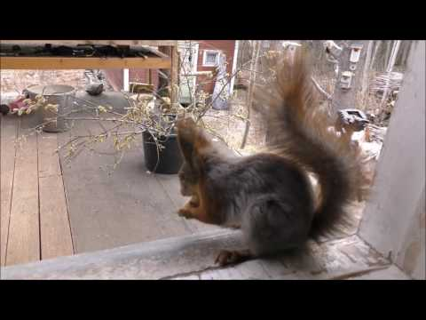 Training a squirrel to become a postman