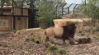 VIRTUAL ZOO DAY LIVE 3: Lions enjoy brunch! 🦁 🦁 🦁