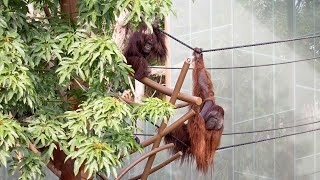 Our orangutans return to Auckland!