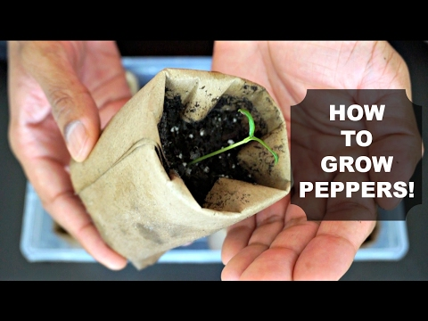 How to Grow Peppers from Seed!