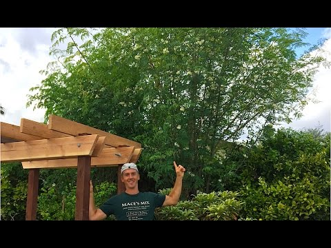 Moringa Oleifera Tree - Miracle Tree - Growing in Arizona Garden!