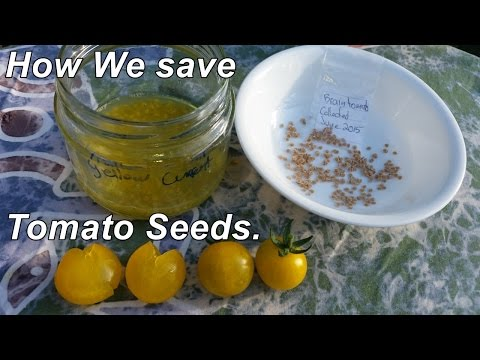 How we save tomato seeds & a few other seed saving tips.