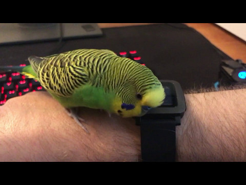 Kiwi the Budgie Talks To A Can Of Bubbly Water And A Pebble Smart Watch