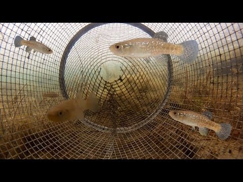 Catching Fish from Inside a Minnow Trap POV (under ice)
