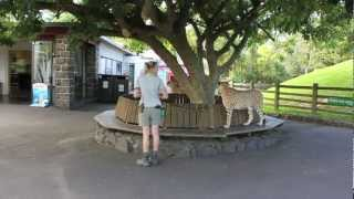 Our cheetahs on a walk with their keepers before the Zoo opens