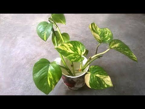Grow money plant in water | Grow indoor plants