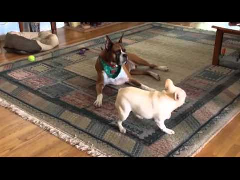 French Bulldog is Excited, Boxer is Unimpressed
