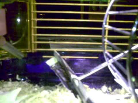 wild mouse in cage