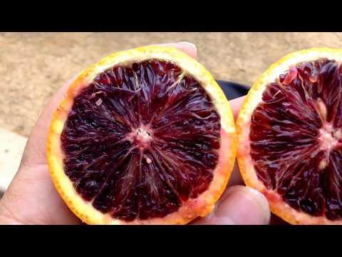 Blood Orange tastes like a cross between a Pomegranate and Orange. Nothing like a Grapefruit.