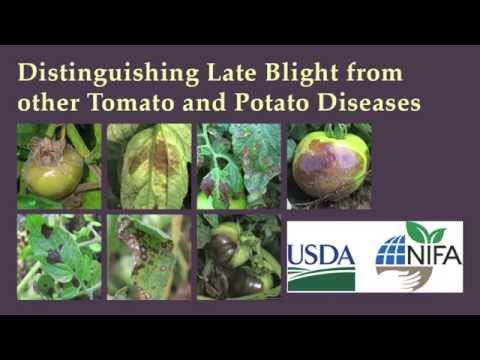 Distinguishing Late Blight from Other Tomato and Potato Diseases