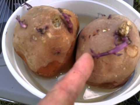 How To Grow Sweet Potato Slips - April 6 2013
