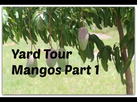 Yard Tour - Mango Trees part 1 - Varieties which grow well in Sarasota, FL