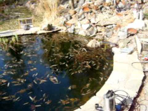 cleaning the koi pond