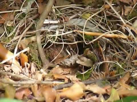 Hedgehog family in the garden