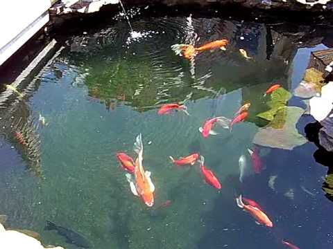 Koi Pond water now clear