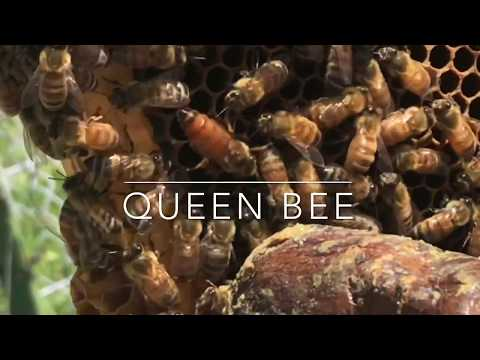 Honey bees: making sure your hive has a queen