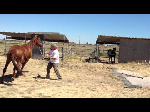Lunging a Pushy & Dangerous Horse- Stopping Pushy Crowding - Rick Gore Horsemanship