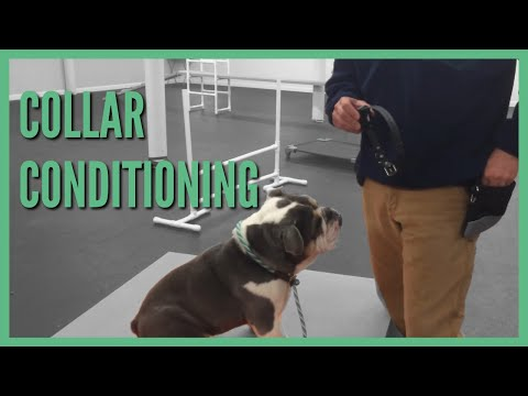 Aggressive dog Training How To Collar Conditioning