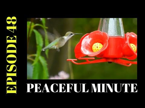Peaceful Minute ~ Episode 48 ~ Hummingbird and Downy Woodpecker
