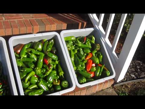 Fall Garden Harvest Update SEPTEMBER thru NOVEMBER Container Gardening Lettuce Harlequin Bugs