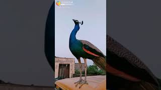 Majal HD 2018