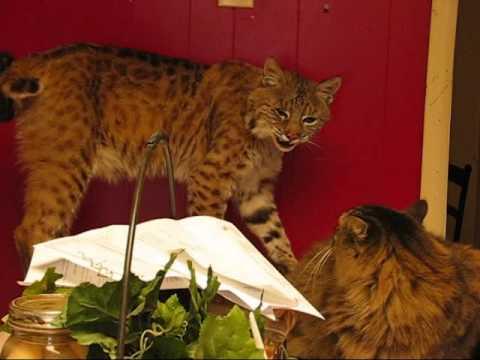 The Scary Sounds that a Wild Bobcat makes.  Rarely heard. (READ DESCRIPTION)