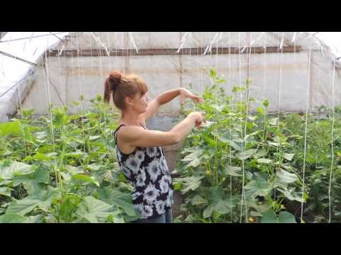 HOW TO PRUNE YOUR CUCUMBER PLANTS FOR BEST PRODUCTION.