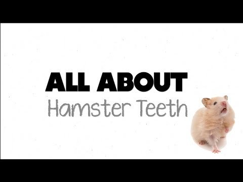 ALL ABOUT HAMSTER TEETH!