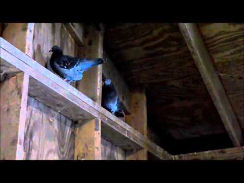 Pigeons:  Barn pest or Poor Man's Poultry?   March 2015