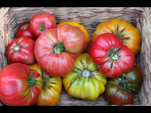Sowing Tomato Seeds-Growing Tomatoes From Seed-Gardenining