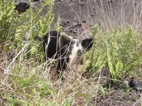 Hawaii Feral Pig