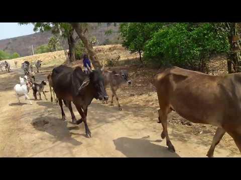 Desi cow / इस नस्ल की गाय मे मील रहा सोना