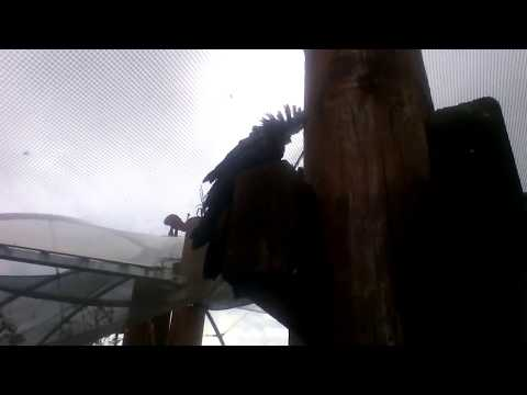 Auckland Zoo (Trip 1, Part 8) - Parrot's Feathers Blowing in the Wind