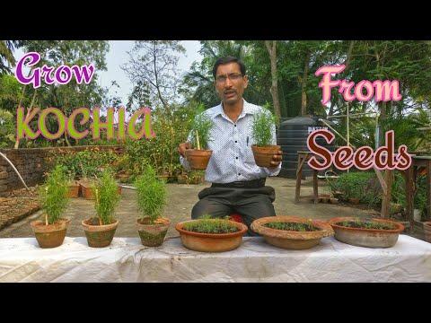 GROW KOCHIA THIS SUMMER // How to grow KOCHIA from Seeds.