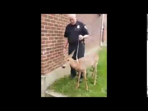 Friendliest deer in Upstate NY lets police walk him on a leash like a pet dog