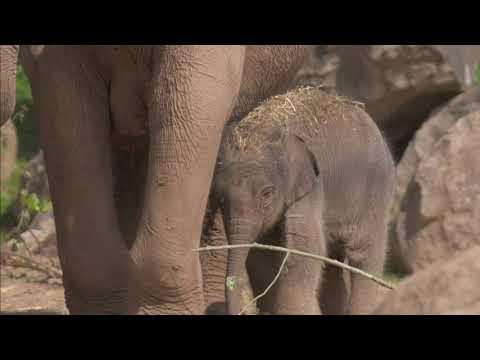 Chester Zoo celebrates birth of rare Asian elephant calf!